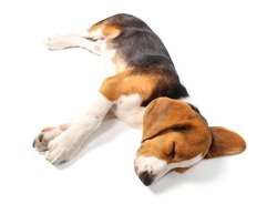Sleeping Beagle dog isolated on white