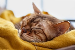 sleeping bengal cat in yellow blanket