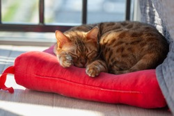 sleeping bengal cat on red pillow