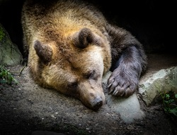 Sleeping big brown bear in a cave in the zoo