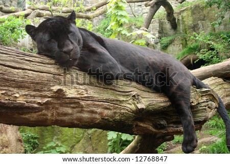 Sleeping black jaguar, (Bagheera from Jungle book?)