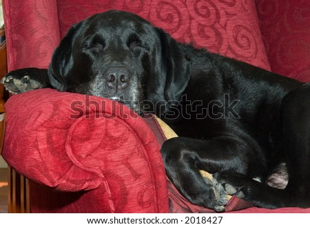 Sleeping black lab, content on the chair.