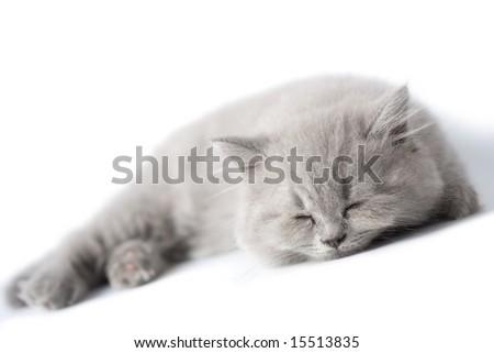 sleeping blue kitten isolated - stock photo