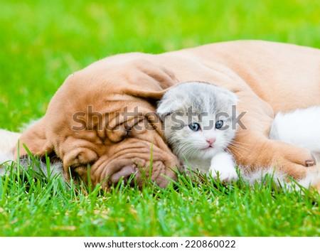 Sleeping Bordeaux puppy dog hugs newborn kitten on green grass