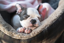Sleeping Boston Terrier puppy in a pet bed. Her little head is resting on her paws. She looks very cosy and warm.