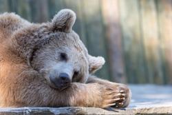 Sleeping brown bear in zoo