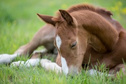 Sleeping brown chestnut german sporthorse foal on a green lawn outdoor in spring chill and relax filly baby horse