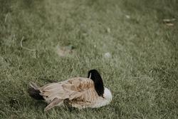 Sleeping canadian bernache on the green grass.
