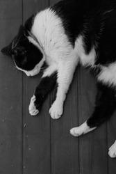 sleeping cat in B&W