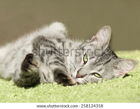 Sleeping cat in natural home background, lazy cat face close up, small sleepy lazy cat, domestic animal on siesta time,desaturated photo, young playful cat, cat playing, cat in dirty blur background
