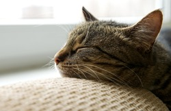 Sleeping cat on a sofa, sleeping cat face close up, small lazy kitten on day time, domestic pet, relaxing cat