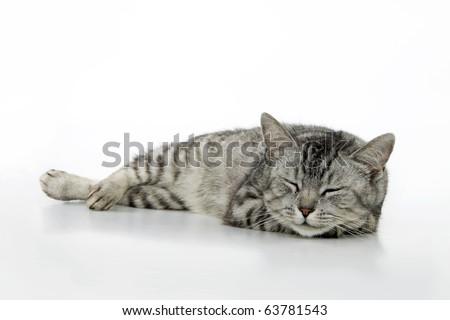 Sleeping cat, on white background.