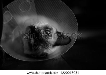 sleeping cat with Elizabeth collar (e-collar) #1220013031