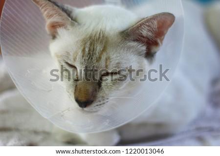 sleeping cat with Elizabeth collar (e-collar) #1220013046