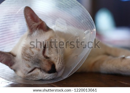 sleeping cat with Elizabeth collar (e-collar) #1220013061