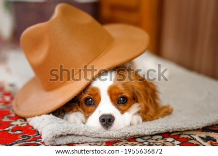Sleeping Cavalier King Charles Spaniel Puppy lies with a hat on his head Photo stock ©