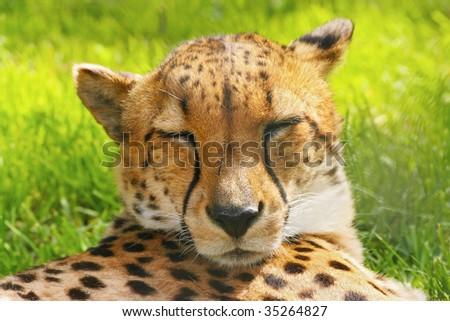 Sleeping cheetah; Acinonyx Jubatus
