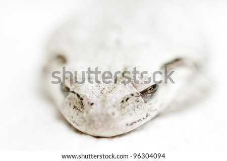 sleeping Cuban Tree Frog on white background