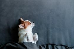 Sleeping Cute Chihuahua dog under blanket  in bed