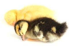 Sleeping cute ducklings isolated on white