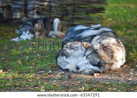 Sleeping dog breeds Alaskan Malamute