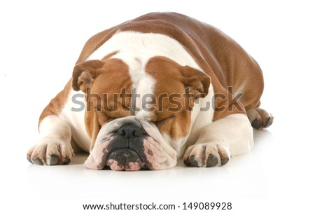 sleeping dog - english bulldog sleeping isolated on white background