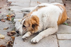 Sleeping dog resting its head on its paws. Breed Central Asian Shepherd (Alabai)