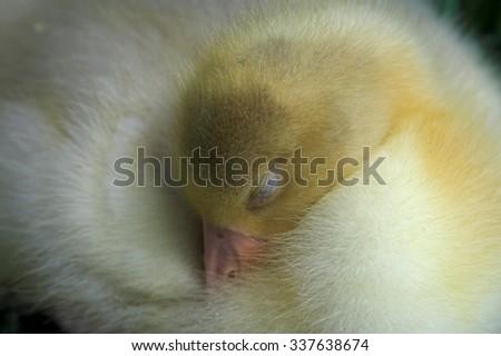 Sleeping duck Stock fotó ©