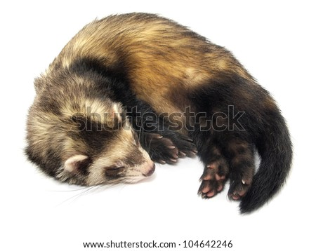 sleeping ferret on a white background