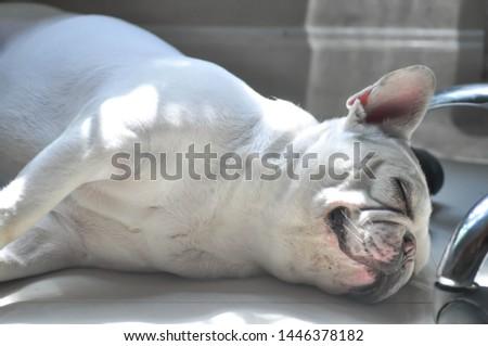 sleeping French bulldog, French bulldog on the floor #1446378182