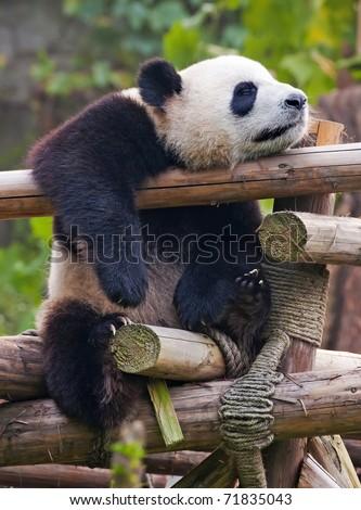 Sleeping giant panda bear - stock photo