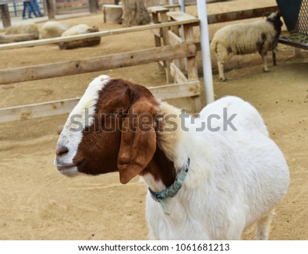 Sleeping goat in the barnyard
