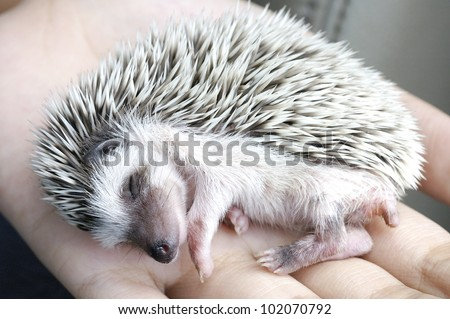 sleeping hedgehog in hand