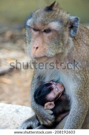 sleeping infant baby Monkeys in tropical Vietnam