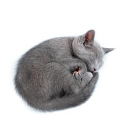 Sleeping kitten (breed