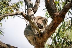 sleeping koala in a gumtree Raymond island