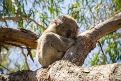 Sleeping koala in tree on Raymond Island, Australia