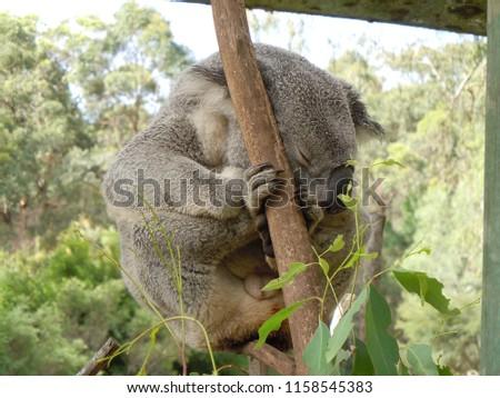 Sleeping koala on a tree #1158545383