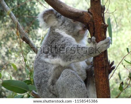 Sleeping koala on a tree #1158545386