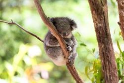 Sleeping koala on eucalyptus tree, sunlight. Koala Bear in zoo. Koala relaxing in a tree, Australia.