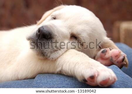 yellow lab puppies sleeping. dog sleep while Newborn at sleeping yellow Yellow+lab+puppies+sleeping