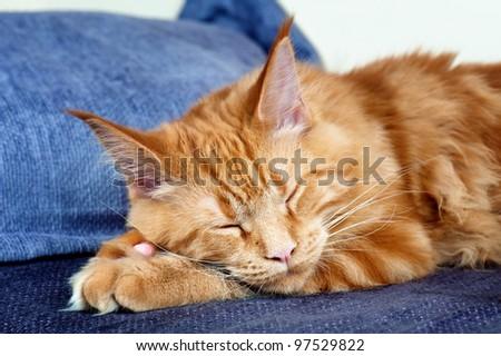Sleeping Maine Coon cat