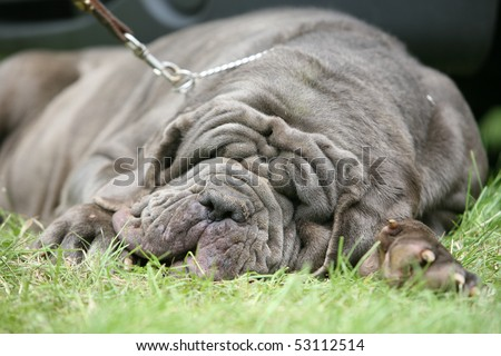 Sleeping Neapolitan Mastiff