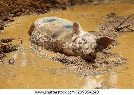 Sleeping Pig in the mud