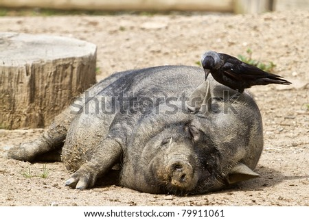 sleeping pig on the head with a jackdaw
