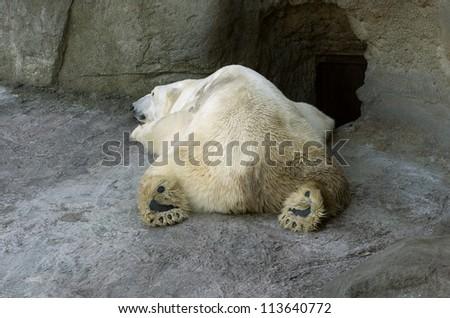 Sleeping polar bear in the Moscow Zoo - stock photo