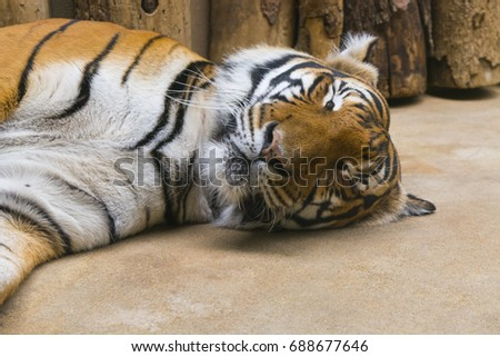Sleeping predatory tiger - Shutterstock ID 688677646