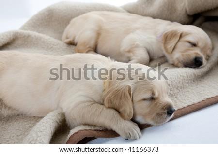 sleeping puppies of golden retriever