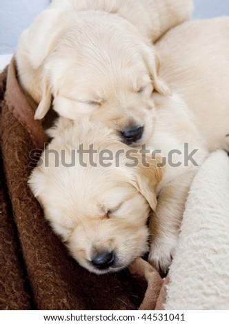 golden retriever mixed with german shepherd puppies. Golden+retriever+puppies+