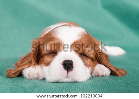 Sleeping puppy of a Cavalier King Charles spaniel
